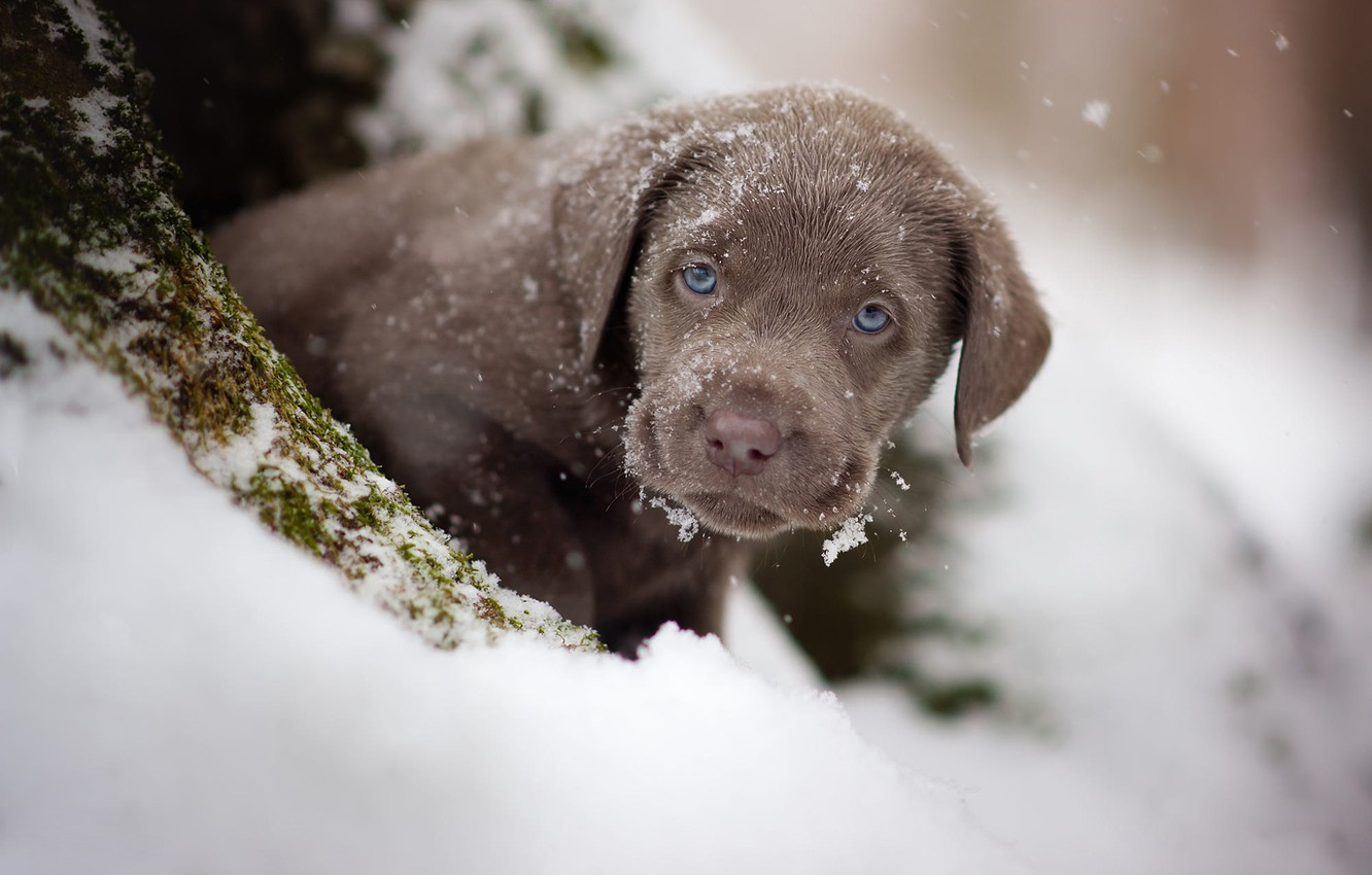 Photo wallpaper winter, look, snow, portrait, dog, baby, puppy, face, brown, chocolate, Retriever, toddler, it covered