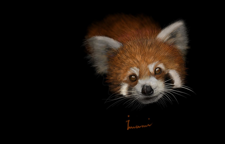 Photo wallpaper art, red Panda, baby, children's, Khalil Imami, Red panda