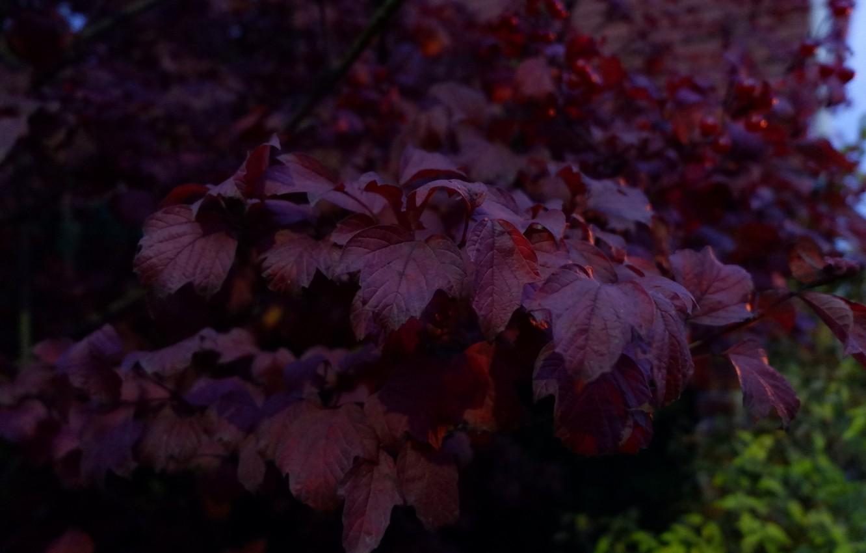 Photo wallpaper autumn, red, Bush, Burgundy