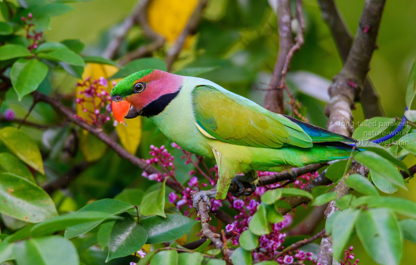 Photo wallpaper leaves, branches, bird, parrot, flowers, Nicehotel ringed parrot