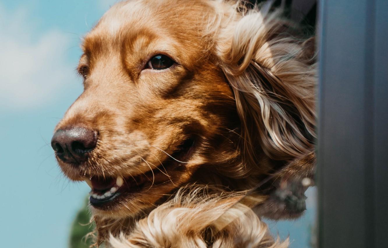 Photo wallpaper joy, dog, Cocker Spaniel