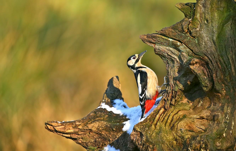Photo wallpaper snow, background, tree, bird, stump, woodpecker