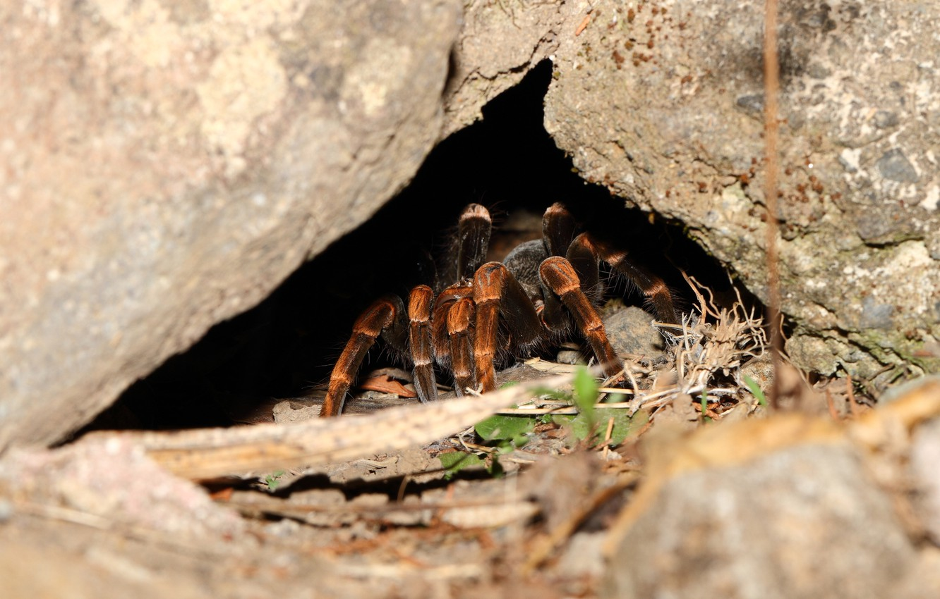 Photo wallpaper spider, legs, cave, hairs