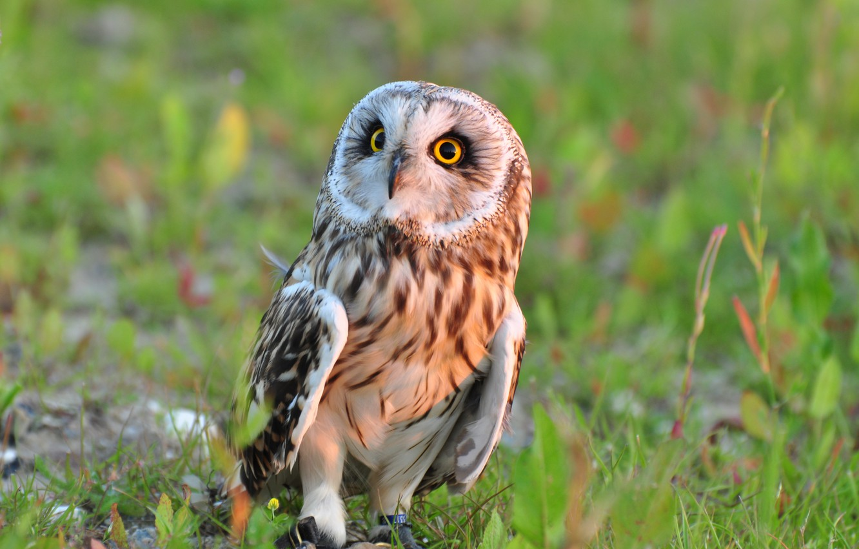 Photo wallpaper grass, nature, owl, bird