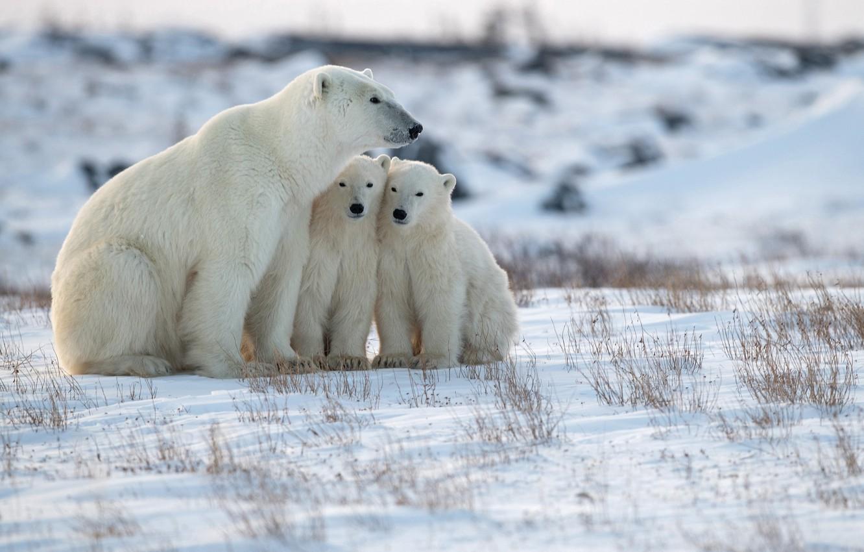 Photo wallpaper snow, bears, Arctic, bear, Polar bears, Polar bears