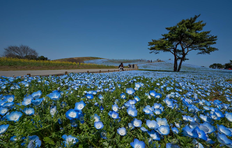 Photo wallpaper flowers, Park, tree, Japan, Hitachi Seaside Park, Hitachinaka
