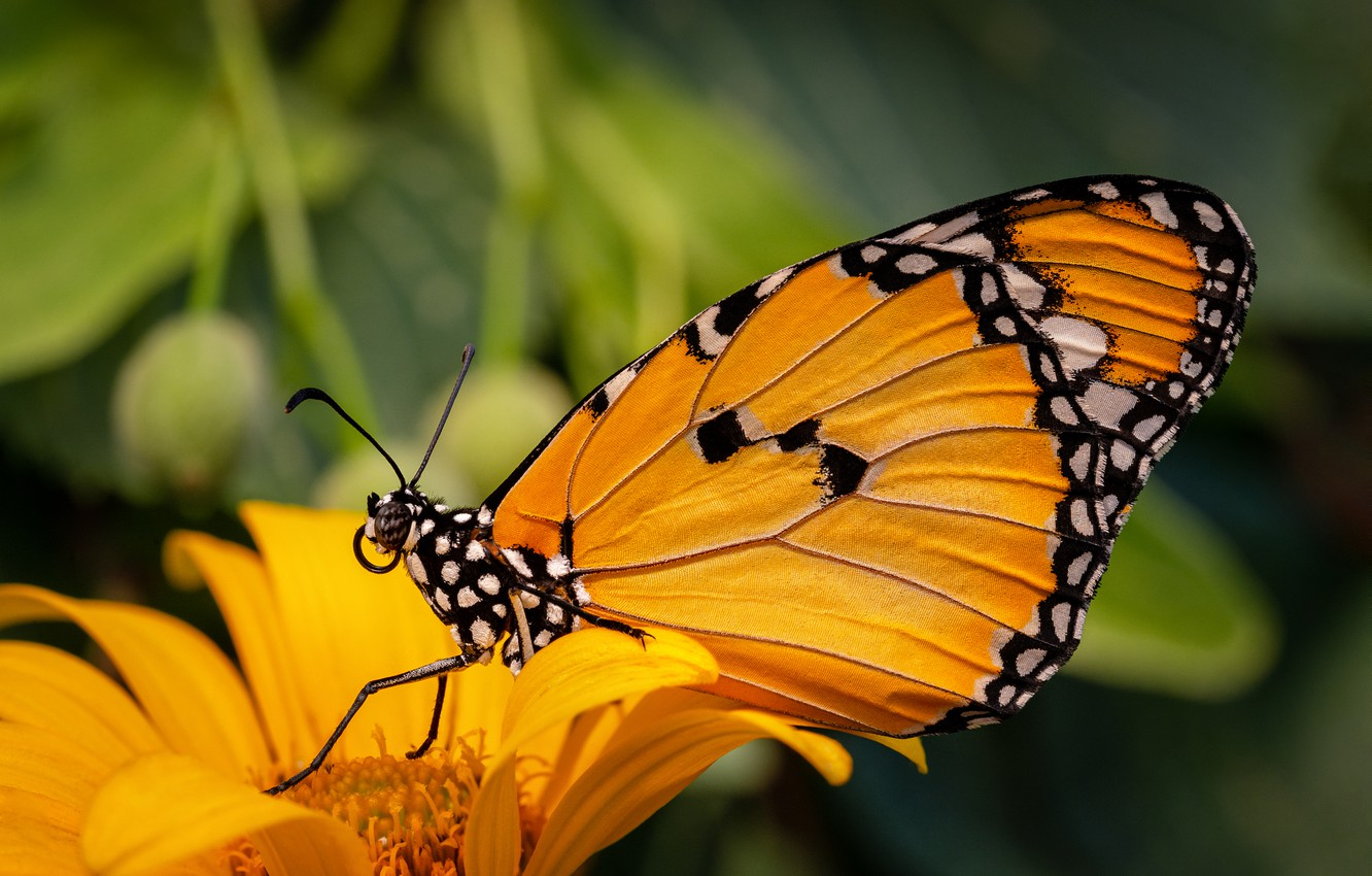 Photo wallpaper animals, flower, summer, orange, insects, yellow, nature, Butterfly, Monarch krezip