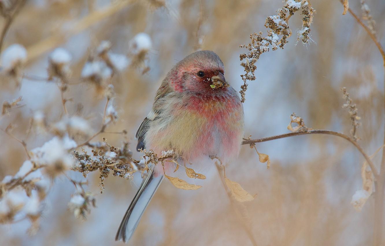 Photo wallpaper winter, snow, nature, bird, branch, урагус