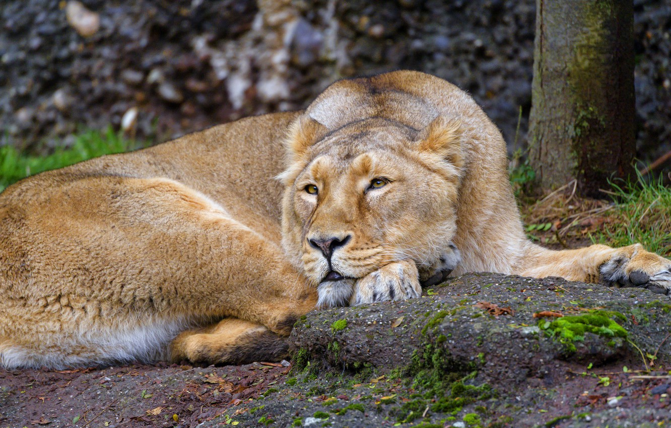 Photo wallpaper nature, pose, stay, lies, lioness