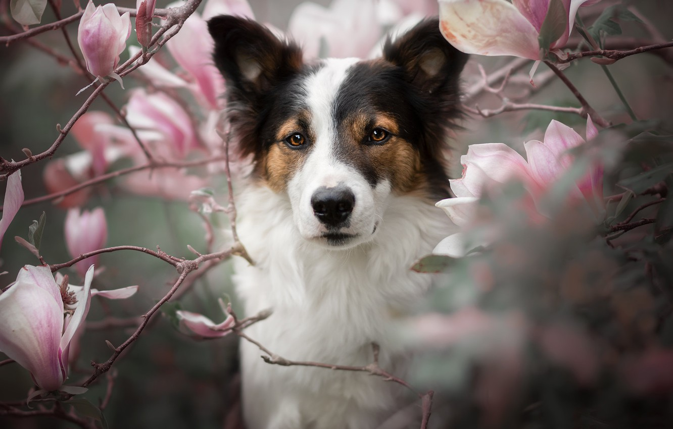 Photo wallpaper look, face, branches, portrait, dog, flowering, flowers, Magnolia