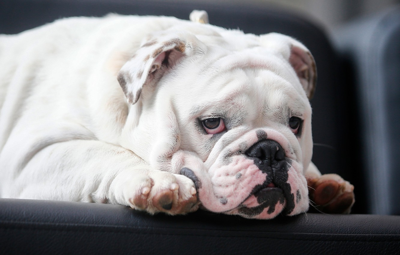 Photo wallpaper look, face, dog, English bulldog