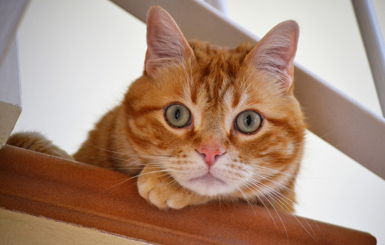 Photo wallpaper cat, look, red, muzzle, eyes, cat