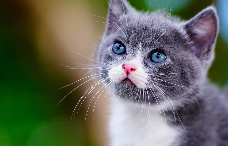 Photo wallpaper look, muzzle, kitty, Munchkin