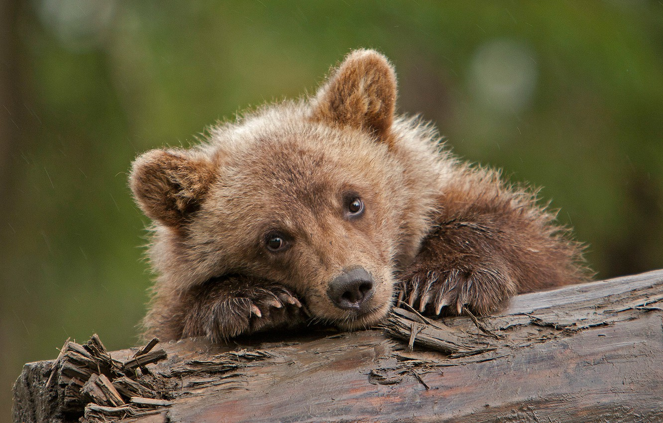 Photo wallpaper look, bear, log, cub, face, grizzly