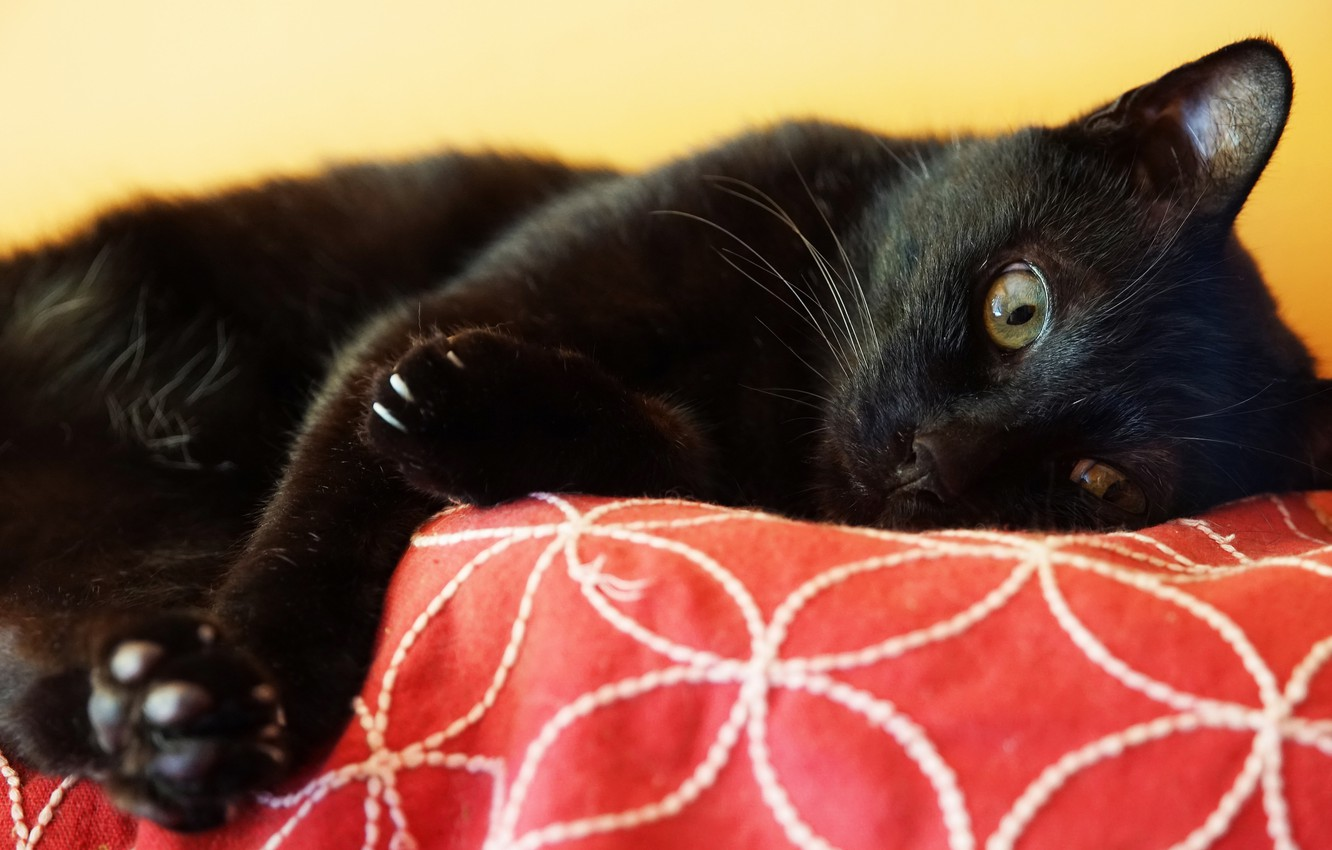 Photo wallpaper cat, cat, look, face, black, paws, lies