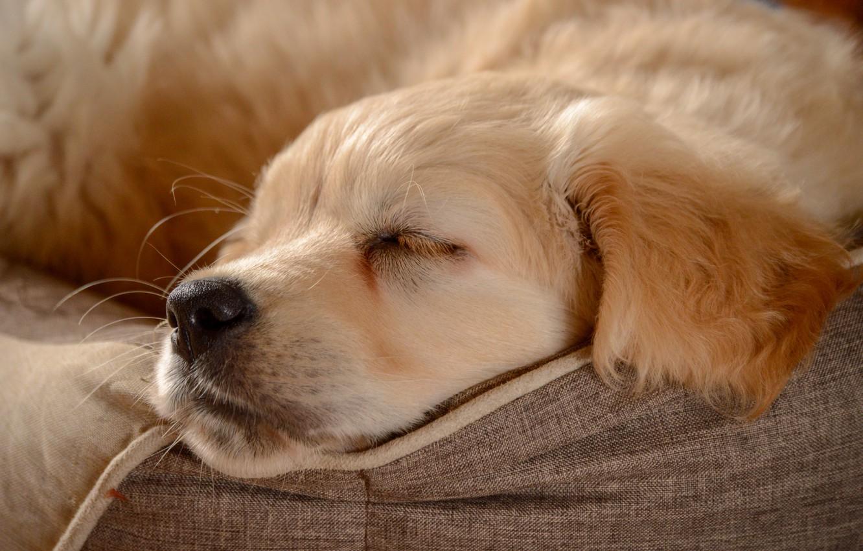 Photo wallpaper sleep, dog, nose, puppy, face, doggie, Golden Retriever, Golden Retriever, sleep