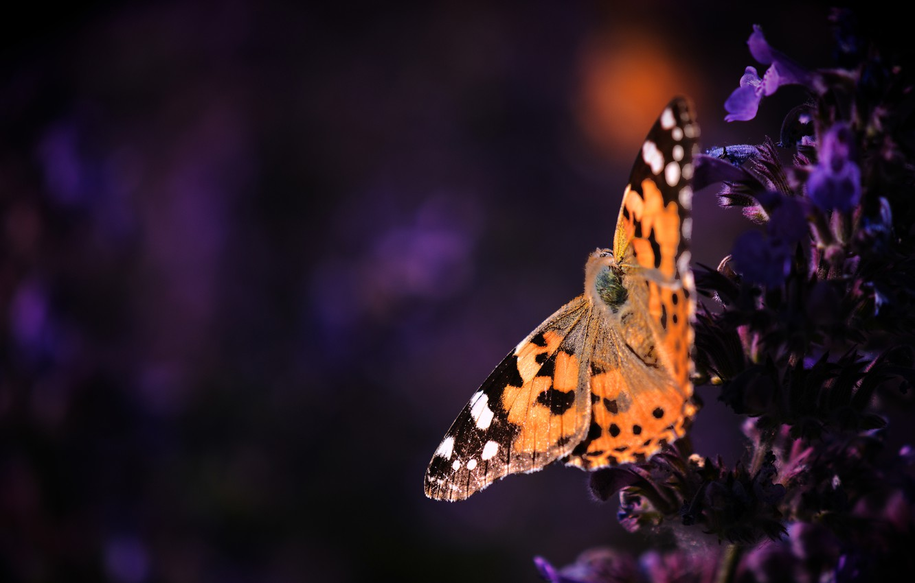 Wallpaper Macro Flowers The Dark Background Butterfly Orange Purple Insect Red Lilac Urticaria Images For Desktop Section Makro Download