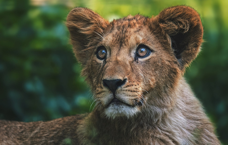 Wallpaper Look Face Background Portrait Leo Baby Lion Lion