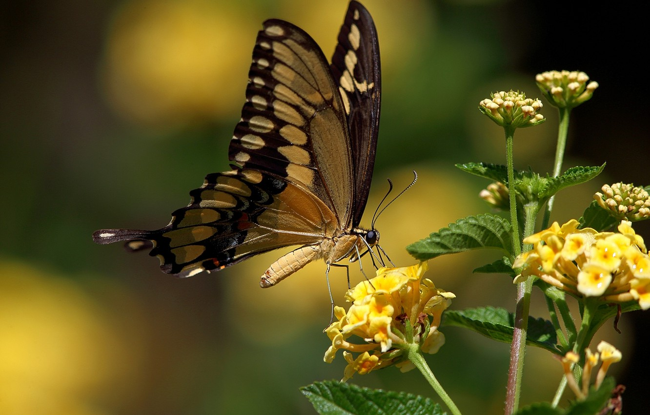Wallpaper butterfly, yellow flowers, swallowtail images ...