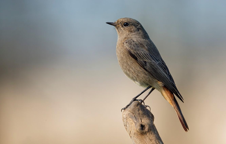 Photo wallpaper bird, snag, bird, black Redstart