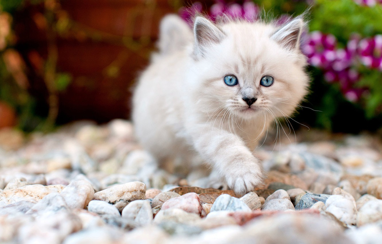 Photo wallpaper cat, look, flowers, pebbles, stones, kitty, background, garden, baby, muzzle, cute, walk, kitty, pussy, stones, …