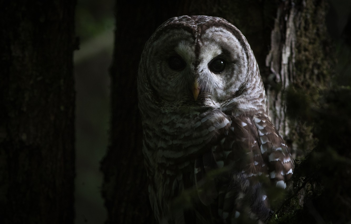 Photo wallpaper forest, eyes, look, trees, darkness, the dark background, owl, bird, grey, twilight, owl, motley