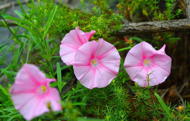 Photo wallpaper Flowers, Flowers, Pink flowers, Pink flowers