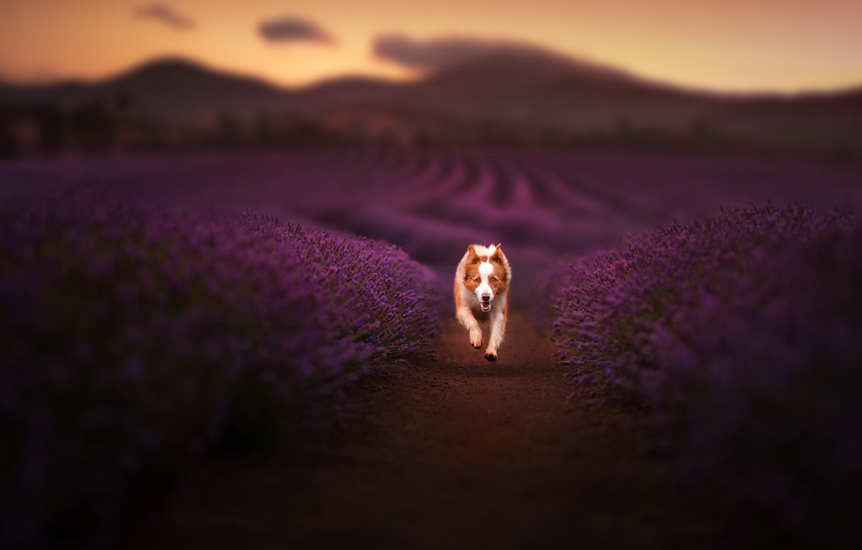 Photo wallpaper dog, running, lavender