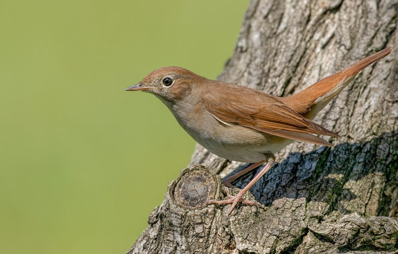 Photo wallpaper tree, bird, Nightingale