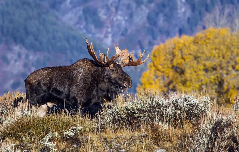 Photo wallpaper Wyoming, Grand Teton National Park, North American Moose