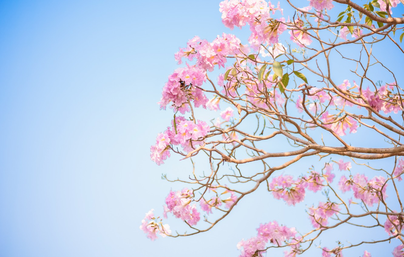 Photo wallpaper flowers, branches, spring, pink, flowering, pink, blossom, flowers, spring, bloom