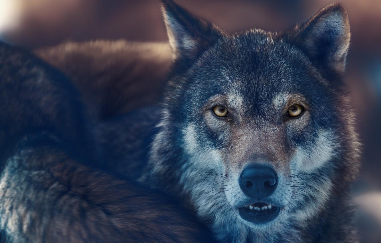 Photo wallpaper look, face, wolf, predator, beast, the orderly forest, Oleg Bogdanov