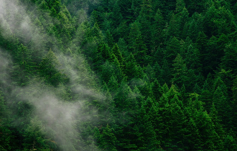 Photo wallpaper forest, trees, fog