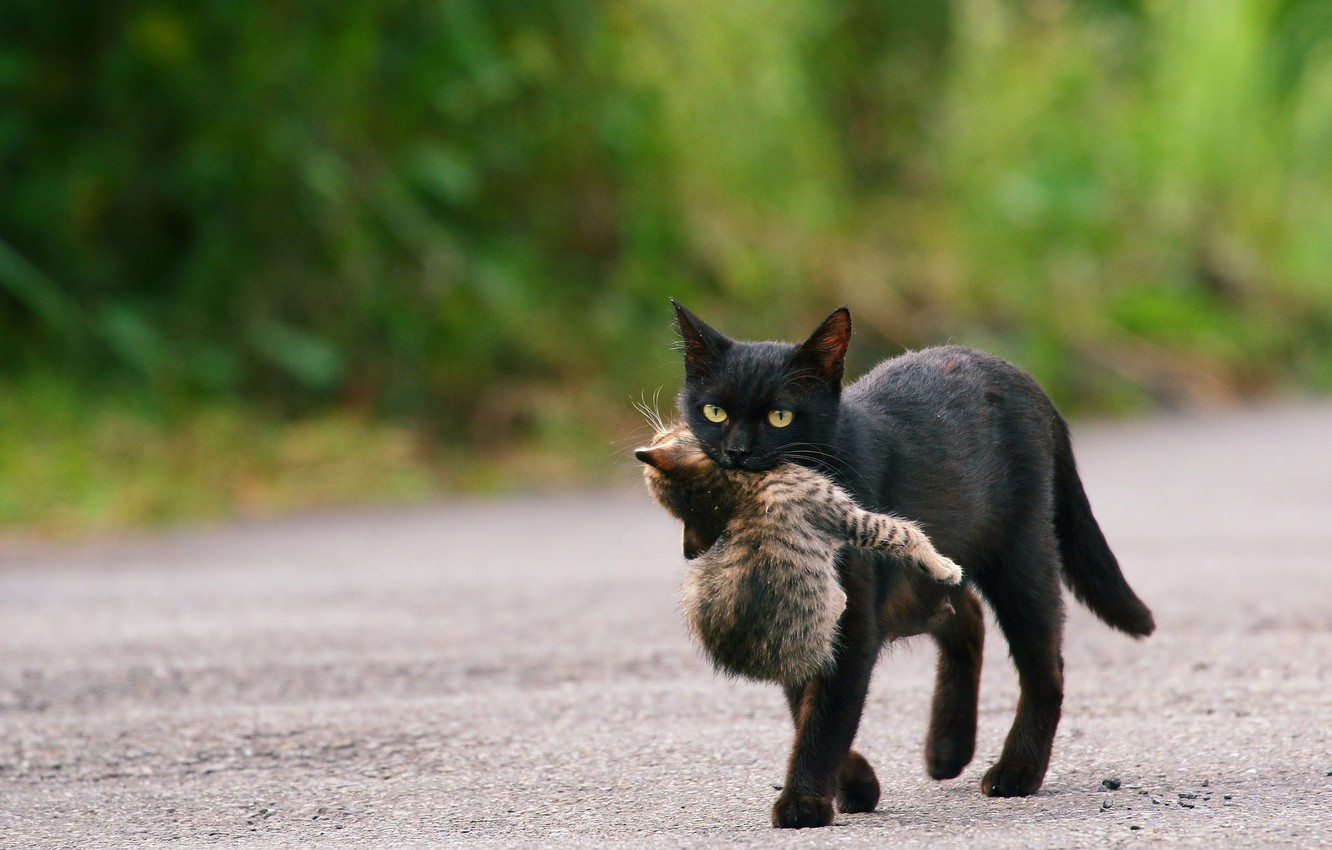 Photo wallpaper road, cat, baby, black, kitty, care, cub, mom, green background, drags