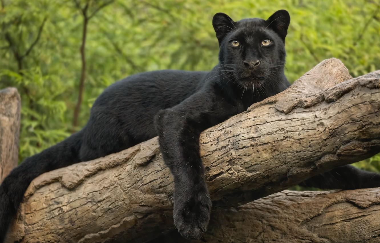Photo wallpaper look, paw, leopard, log, wild cat, black Panther