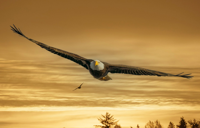 Photo wallpaper the sky, trees, sunset, birds, nature, flight, bald eagle