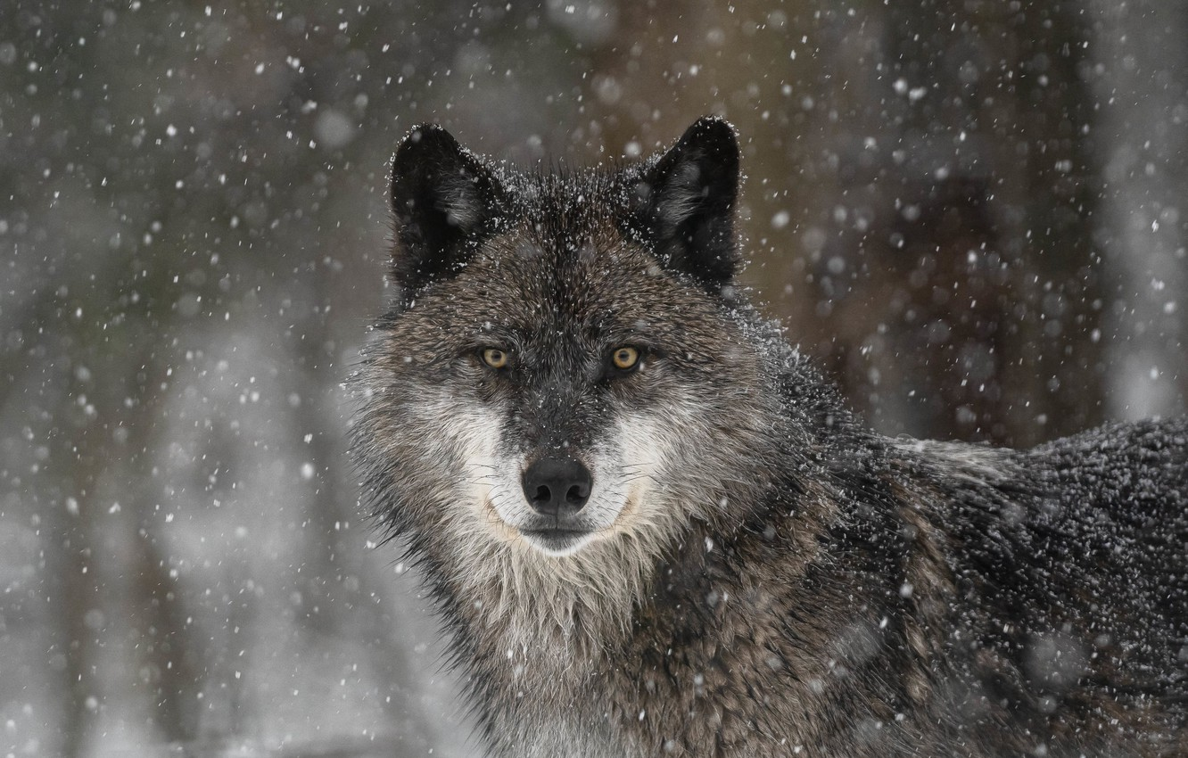 Photo wallpaper look, face, snow, wolf, predator, the orderly forest