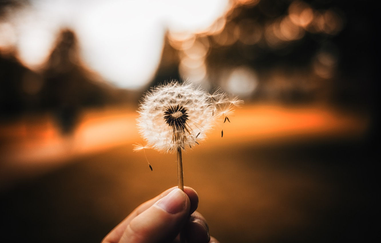 Photo wallpaper nature, dandelion, hand