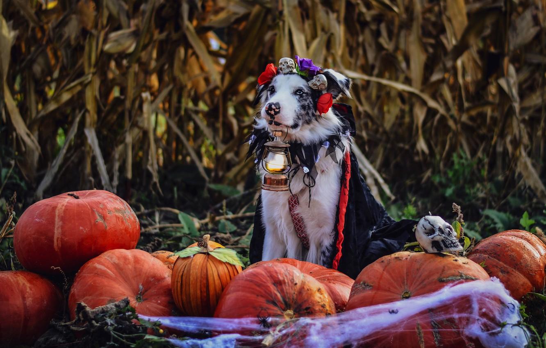 Photo wallpaper autumn, leaves, flowers, holiday, dog, web, spider, harvest, costume, lantern, pumpkin, skull, sitting, Cape, Halloween, …