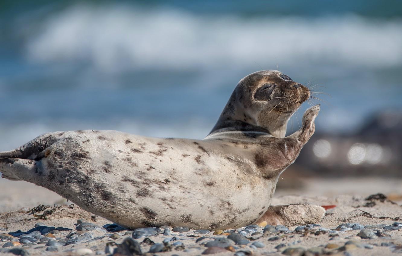 Photo wallpaper sea, pose, pebbles, stones, background, blue, shore, seal, legs, baby, lies, face, Navy seal, cub, …