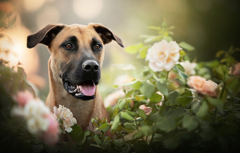 Photo wallpaper face, flowers, portrait, roses, dog, bokeh