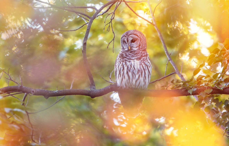 Photo wallpaper autumn, branches, owl, bird, yellow background, bokeh, owl