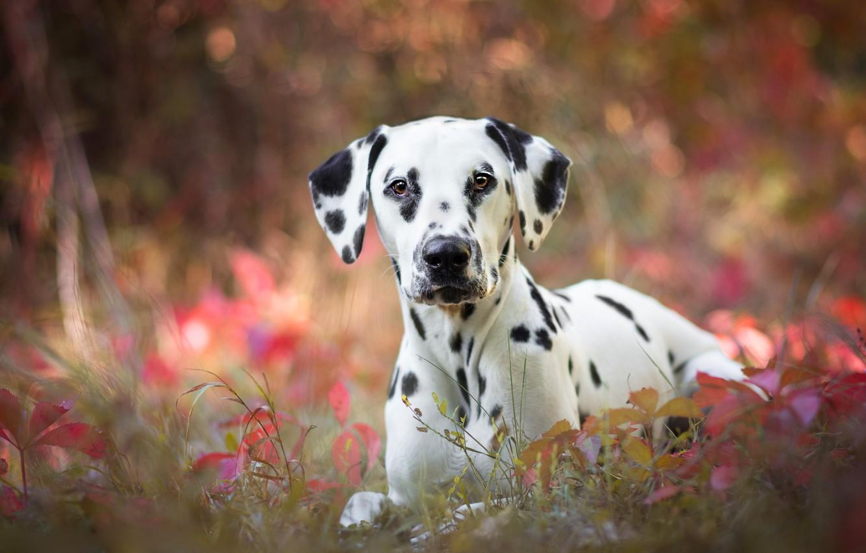 Photo wallpaper autumn, grass, leaves, nature, background, portrait, dog, puppy, Dalmatians, bokeh