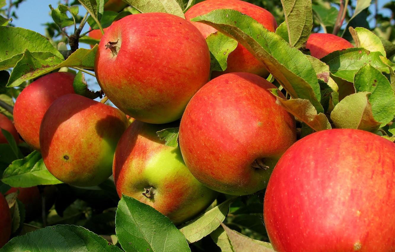 derevo priroda plody iabloki