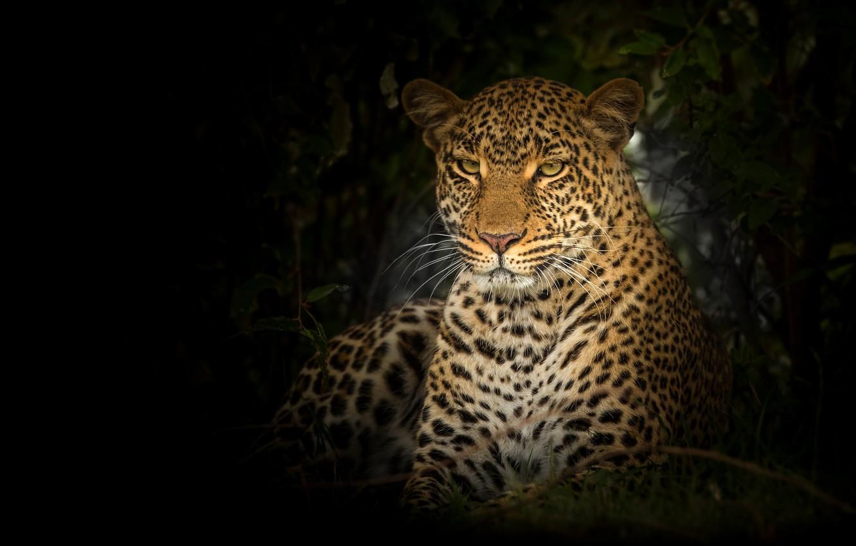 Photo wallpaper look, face, portrait, leopard, black background, wild cat