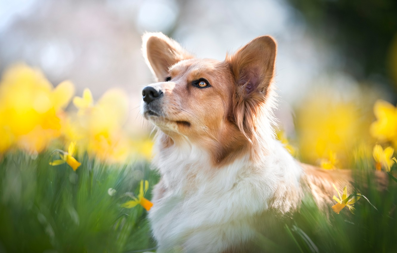 Photo wallpaper face, flowers, portrait, dog, blur, daffodils, Welsh Corgi