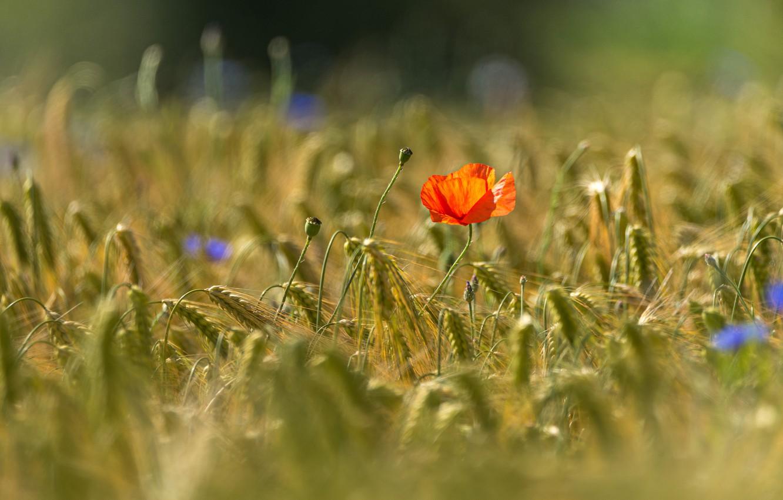 Photo wallpaper field, summer, light, flowers, red, Mac, rye, spikelets, ears, cereals, blue, bokeh, cornflowers, rye field