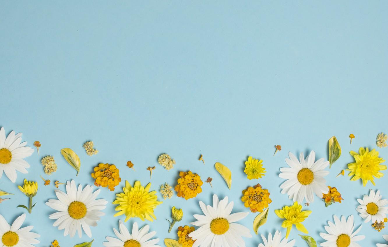 Wallpaper Flowers Chamomile White Yellow Flowers