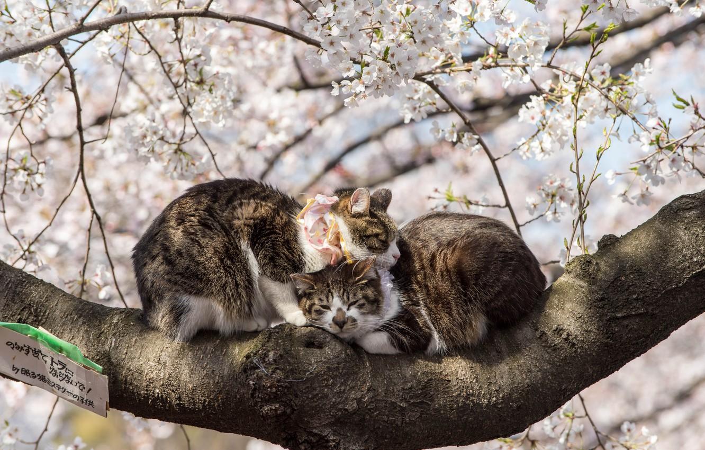 Photo wallpaper Spring, Sakura, Japan, Pair, Animals, Flowering, Cats