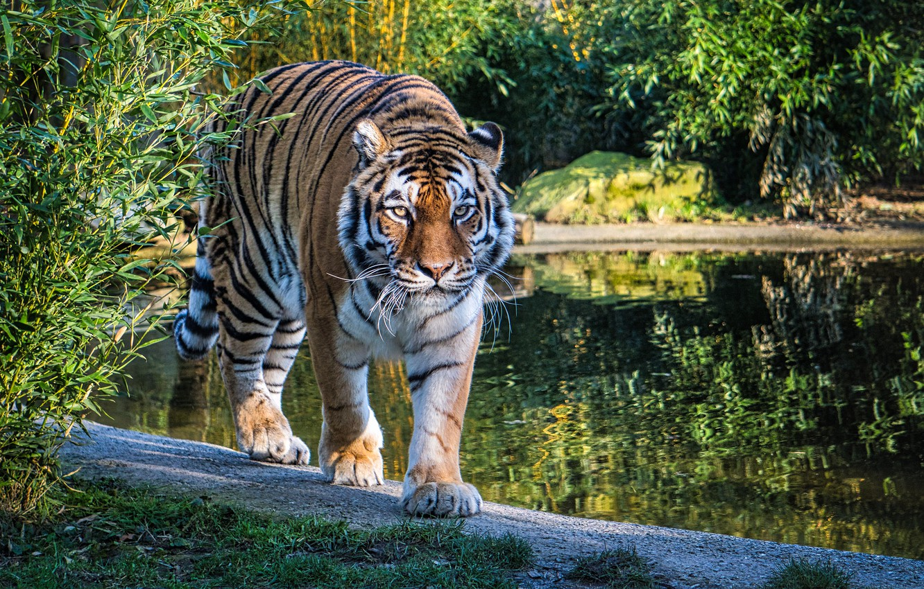 Photo wallpaper greens, nature, tiger, lake, predator, walk, the bushes, big cat